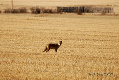 Morning coyote DSC_6396 (Trish Sweett) Tags: coyote nature animal fauna mammal nikon d80 nikond80