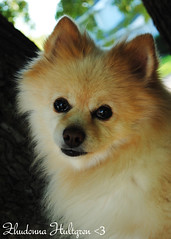 DSC_0728 (zoo2292) Tags: bear dog puppy doggy pomeranian pompom