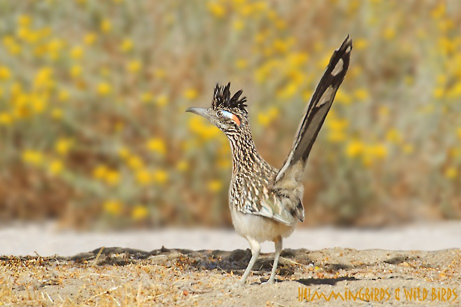 Greater Roadrunner 110811-3