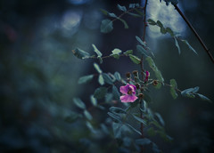 wild rose II (Minghua Nie) Tags: light wild rose forest 50mm woods takumar f14 nie minghua