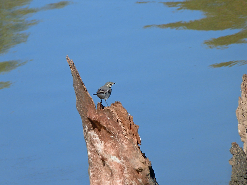 07-11-2011-wagtail