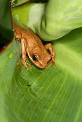 Front Yard Fog (cowyeow) Tags: africa leaves yard garden village african wildlife amphibian frog urbanwildlife uganda treefrog herp herpetology kasese herping