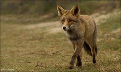 Take a walk ... (Alex Verweij) Tags: wild nature female canon walking wandelen young natuur fox 7d foxes vrouw jong vos reintje alexverweij mygearandme