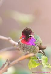 Anna's Hummingbird111411-3 (luluhachidori) Tags: california pink orange bird canon eos hummingbird purple allens southern 7d annas costas   allofnatureswildlifelevel1 allofnatureswildlifelevel2