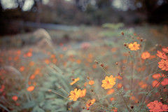 _ (gwagwa) Tags: park orange flower green japan 35mmf14 rokinon