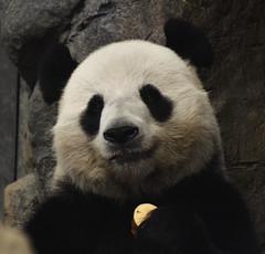 Smiling (potatolovertwo) Tags: ocean park white black animal animals giant ed nikon panda hong kong le if 300 nikkor 70 vr afs 7000