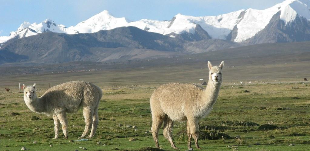alpaca nevado 2