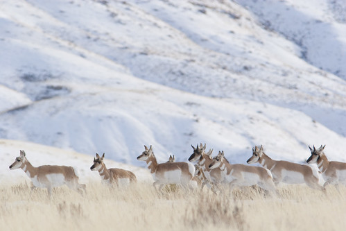 Pronghorn antelope on the move along the migration route. Photo credit: Mark Gocke.