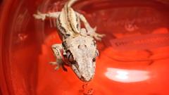Rhacodactylus auriculatus juvenile 1 (ghostmantis) Tags: gargoyle gecko rhacodactylus