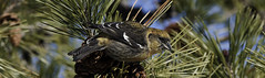 White-winged Crossbill (martytdx) Tags: birds female birding january nj longbranch sevenpresidentspark coldashell whitewingedcrossbill loxialeucoptera loxia crossbills fingillidae