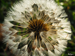 Dandelion Starburst (monteregina) Tags: flowers plants white canada abstract macro texture nature closeup fleurs design weeds pattern geometry details natur blossoms shapes puff center dandelion seeds sparkle seedhead qubec wildflowers abstraction pollen plantae puffy blanc flowerhead pissenlit nuisance abstrait samen taraxacum makeawish dientedelen lwenzahn pusteblume dentdelion parachutes fleurssauvages blmen dandelionseedhead aknes semences fillframe taraxacumofficinalis aigrettes monteregina astraces composes parachuteball dandelionstars