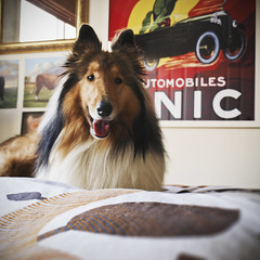 Archie! Beta. (meltedcheese) Tags: dog colour love home poster fun happy mirror bed bedroom collie brighton play fluffy australia melbourne canine victoria lassie roughcollie