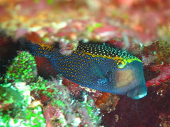 Spotted boxfish (Christophe Maerten) Tags: ocean life fish indonesia marine indian diving area spotted indonesie pulau corals marien in