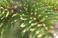 Tra aghi (Maiodiem) Tags: plants verde green woods blurred needles aghi piante bosco sfocato