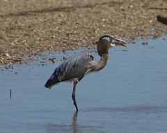 Great Blue Heron eating a Blue Crab (4 of 5)