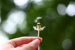 52: 46: Make a Wish! [+2 in Comments] (jeanmariehoward) Tags: 50mm hand bokeh dandelion soon wishing hopeful makeawish straightoutofcamera canondos40d ihopemywishcomestrue