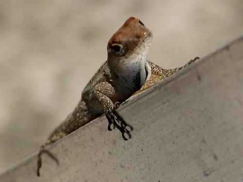 leg lizard