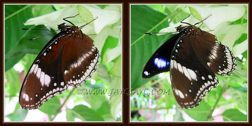 Hypolimnas Bolina (Great Eggfly) on White Mussaenda, Sept 30 2011