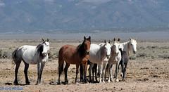 wildhorses (emcinnisfoto) Tags: horses photography colorado september workshop taos wildhorses wildhorse