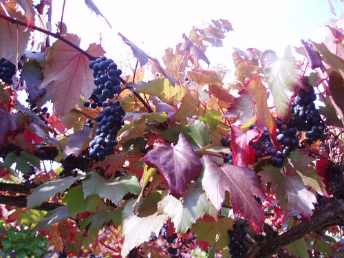 Autumn grapevine, with the leaves turning slowly to red, and several clusters of small grapes.