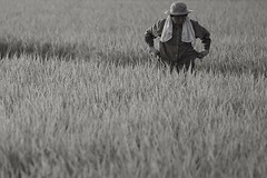 work, rice farmer (StephenCairns) Tags: japan work rice farming harvest sweat  gifu f4 weeding   ricecultivation     canon50d   70200mmf4isusm