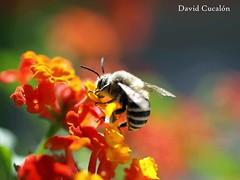 Time to dinner (David Cucaln) Tags: flower macro animals 35mm flor olympus bee animales abeja 2011 digitalcameraclub avella cucalon davidcucalon