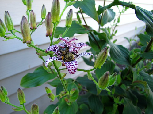 Bee on toad lily