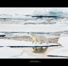 George of the Ice (Hkon Kjllmoen, Norway) Tags: ice canon polarbear isbjrn naturesfinest supershot impressedbeauty natureselegantshots fotocompetition fotocompetitionbronze 5dmkii 600mm4l coth5 mygearandme
