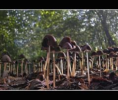 Here they are again (Wim Koopman) Tags: wood autumn light holland macro tree mushroom netherlands leaves closeup canon woodland garden photography photo close bokeh stock nederland atmosphere powershot them lots stockphoto s90 stockphotography s100 goudriaan wpk s95 psathyrella conopilus