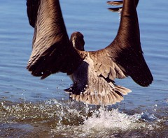 Happy Webbed Feet (PelicanPete) Tags: rescue motion nature beauty unitedstates florida wildlife release takingoff wingspan waterdroplets brownpelican floridakeys southflorida watersplash rehabilitation tailfeathers overseashighway floridakeyswildbirdcenter tavernierfl nonprofitorg islandchain wingblurr onlythebestofnature
