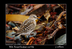 White-Rumped Sandpiper and Kelp (Tomcod) Tags: seaweed bird nature animal newfoundland bill wings tail beak kelp sandpiper avalon avian southshore shorebird calidrisfuscicollis bearcove abigfave