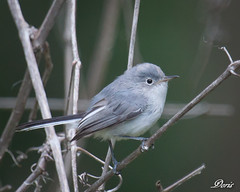 Blue-gray Gnatcatcher (claybuster1(Mike & Doris)) Tags: bluegraygnatcatcher michiganbirds