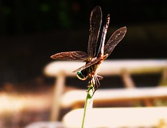 still (LauraSorrells) Tags: love home mystery insect poetry poem dragonfly july here story knowledge summertime pause myfavorite stillness source understanding patience thecove odonata colemanbarks 2011