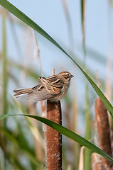Migliarino di palude - Emberiza schoeniclus - Reed Bunting (vieri bertola) Tags: uccelli racconigi lipu migliarino