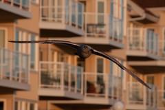 Seagull! (C McCann) Tags: seagulls canada bird birds island harbor harbour seagull columbia inner british vancover