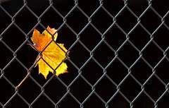 Trapped (gordeau) Tags: blackbackground fence leaf trapped minimal gordon simple caught ashby challengeyouwinner flickrchallengegroup flickrchallengewinner thechallengefactory thepinnaclehof gordeau tphofweek139