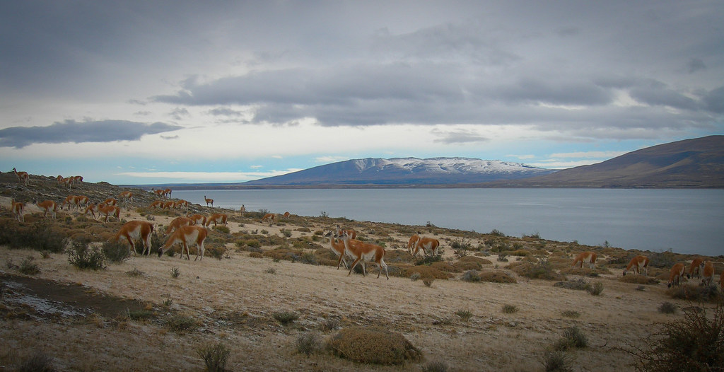 Herds of guanacos at the Lago Sarmiento (july 2006)