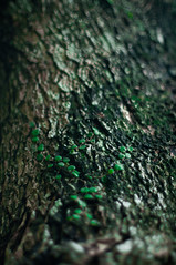 crawling leaf (mr_i) Tags: old tree green nature 50mm leaf nikon bokeh crack bark harmony malaysia nikkor kuantan d90 flowerofislam