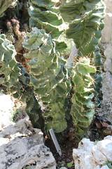 Monaco'ExoticGarden 11'0926 - 070 (studio-d) Tags: cactus monaco prickly succulents exoticgarden jardinexotiquedemonaco