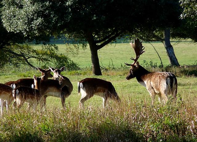 25206 - Fallow Deer, Holkham Hall