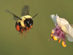 Bee Working (DrPhotoMoto) Tags: northcarolina bee pollen verbascum richmondcounty verbascumblattaria peregrino27macro