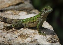 Guatemala - Naturaleza / Nature (Galeon Fotografia) Tags: animal guatemala animale tier tierwelt   hayop   galeonfotografa