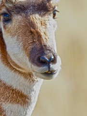 Pronghorn Portrait (ssilberman) Tags: critter pronghorn