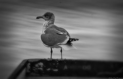 Tranquility... (MFotography*) Tags: sea bird nature water digital photoshop canon eos boat cornwall gull edge ef28135mm falmouth lightroom 500d