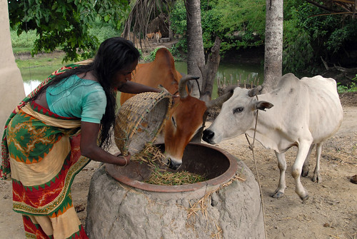 Feeding the cows, Bangladesh. Photo by WorldFish, 2006