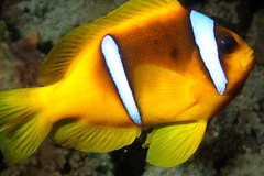 Amphiprion bicinctus (Joao Pedro Silva) Tags: orange yellow gold redsea egypt liveaboard oceandream bluffpoint commensalism amphiprionbicinctus