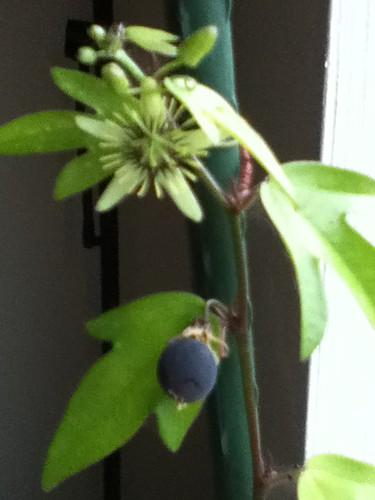 some of my passiflora - Page 3 6317420572_5b6cbdb661