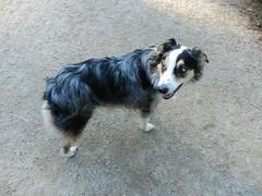 DSCN0032 (rlg) Tags: november dog male animal mammal 05 saturday 1105 indi 2011 fpr nikonp500 201111 11052011 20111105 australianshepherd175years