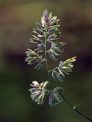 Super Grass (Mr Grimesdale) Tags: grass seeds wildflowers stevewallace britishnature mrgrimesdale