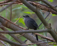 Gray Catbird Photo